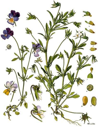 800px-Viola_tricolor_-_Köhler–s_Medizinal-Pflanzen-280